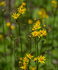 Golden ragwort (<I>Packera aurea</I>) G. Richard Thompson Wildlife Management Area, Fauquier County, VA