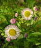 Common fleabane (<I>Erigeron philadelphicus</I>) Sugarloaf Mountain, Frederick County, MD