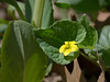Downy yellow violet (<I>Viola prebescens</I>) Riverbend Park, Great Falls, VA