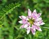 "Crown vetch (<i>Coronilla varia</i>)  by the roadside <span class=""nonNative"">[non-native]</span> Northern Montgomery County, MD"