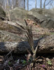 Smooth rockcress (<I>Boechera laevigata</I>) among rocks C&O Nat'l Hist Park - Widewater, Western Montgomery County, MD