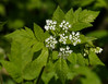 Sweet Cicely (<I>Osmorhiza claytoni</I>) White Clay Creek State Park, Newark, DE
