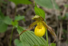 Yellow lady's slipper (<I>Cypripedium parviflorum</I>) G. Richard Thompson Wildlife Management Area, Fauquier County, VA
