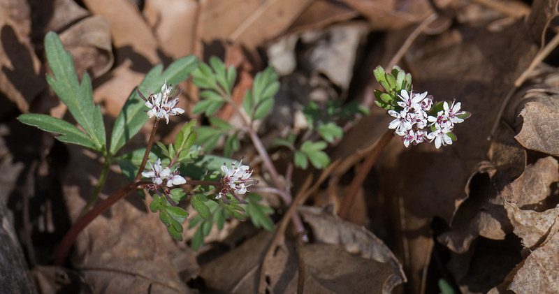 Harbinger-of-spring (<I>Erigenia bulbosa</I>) C&O Nat'l Hist Park - Widewater, Western Montgomery County, MD