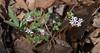 Harbinger-of-spring (<I>Erigenia bulbosa</I>) C&O Nat'l Hist Park - Widewater, Western Montgomery County, MD