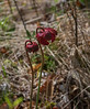 "Northern pitcherplant (<i>Sarracenia purpurea</i>) flowers <span class=""nonNative"">[non-native, planted]</span> Suitland Bog, Suitland, MD"
