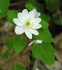 Rue anemone (<I>Anemonella thalictroides</I>, aka <I>Thalictrum thalictroides</I>)  G. Richard Thompson Wildlife Mgt. Area, Fauquier County, VA