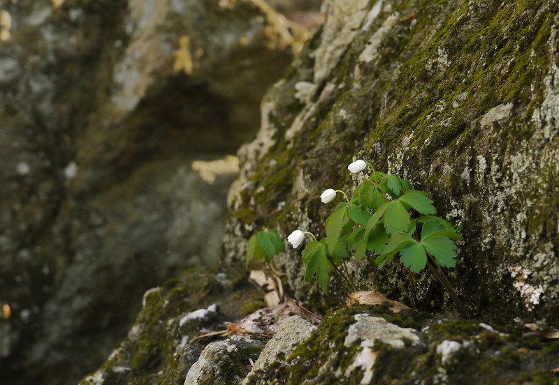 Wood anemone (<I>Anemone quinquefolia</I>) growing in rock Cunningham Falls State Park, Frederick County, MD