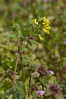 Yellow corydalis (<I>Corydalis flavula</I>) on Rappahannock floodplain Falmouth Waterfront Park, Falmouth, VA