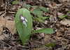 Showy orchis (<I>Galearis spectabilis</I>) G. Richard Thompson Wildlife Management Area, Fauquier County, VA
