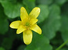 "Lesser celandine (<i>Ranunculus ficaria</i>) <span class=""nonNative"">[non-native invasive]</span> Rock Creek Park, Chevy Chase, MD"