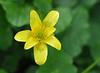 "Lesser celandine (<i>Ranunculus ficaria</i>) <span class=""nonNative"">[non-native invasive]</span> Rock Creek Park, Chevy Chase, MD"