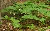 Mayapples (<I>Podophyllum peltatum</I>) in flower Wheaton Regional Park, Montgomery County, MD