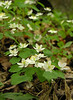 Rue anemone (<I>Thalictrum thalictroides</I>)  Rachel Carson Conservation Park, Brookeville, MD