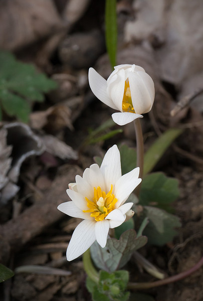 Bloodroot (<I>Sanguinaria canadensis</I>) C&O Canal Nat'l Historical Park - Carderock Recreation Area, Western Montgomery County, MD