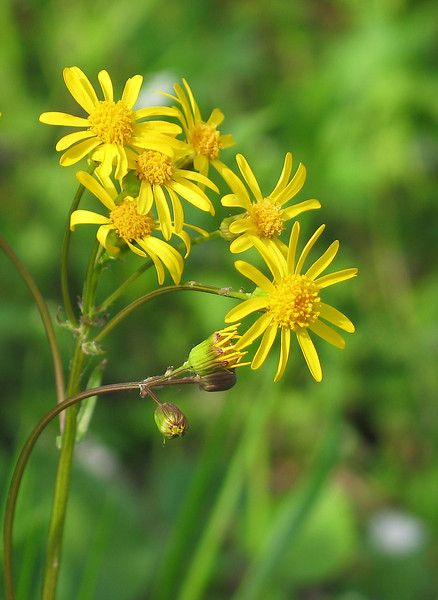Golden ragwort (<I>Packera aurea</I>) C&O Canal Nat'l Historical Park - Carderock Recreation Area, Western Montgomery County, MD