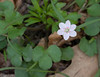 Spring beauty flower (unusually 6-petaled) among round-lobed hepatica (?) leaves<br /> C&O Canal Nat'l Historical Park - Carderock Recreation Area, Western Montgomery County, MD