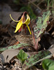 Trout lily (<I>Erythronium americanum</I>) C&O Canal Nat'l Historical Park - Carderock Recreation Area, Western Montgomery County, MD