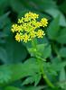 Golden Alexanders (<I>Zizia aurea</I>) Black Hill Regional Park, Boyds, MD