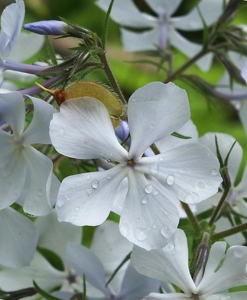 Wild blue phlox (<I>Phlox divaricata</I>) after rain, with American Elm seed C&O Canal Nat'l Historical Park, Western Montgomery County, MD