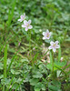 Spring beauty (<I>Claytonia virginica</I>) Rock Creek Park, Chevy Chase, MD