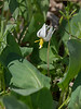 White trout lily (<I>Erythronium albidum</I>) Riverbend Park, Great Falls, VA