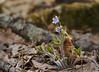 Round-lobed hepatica (<I>Hepatica nobilis var. obtusa</I>) along Big Hunting Creek Cunningham Falls State Park, Frederick County, MD