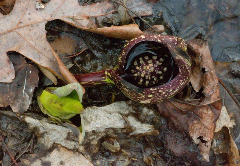 Skunk cabbage (<I>Symplocarpus foetidus</I>) flowers Maydale Conservation Park, Colesville, MD