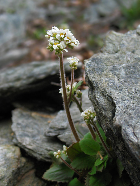 Early saxifrage (formerly <i>Saxifraga virginiensis</i>, now <i>Micranthes virginiensis</i>)  C&amp;O Canal Nat'l Historical Park - Carderock Recreation Area, Western Montgomery County, MD