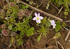 American field pansy (<I>Viola bicolor</I>, light morph) on Rappahannock floodplain Falmouth Waterfront Park, Falmouth, VA