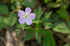 Wild geranium (<I>Geranium maculatum</I>) Wheaton Regional Park, Wheaton, MD