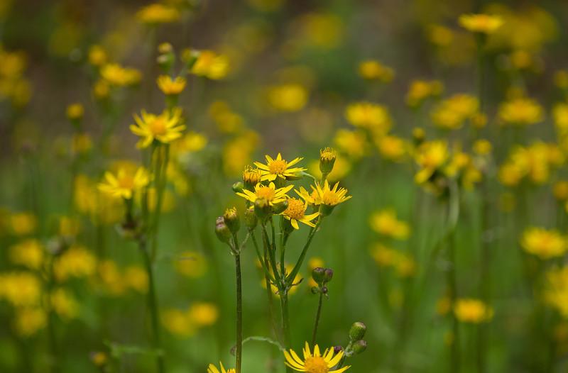 Golden ragwort (<I>Packera aurea</I>) G. Richard Thompson Wildlife Management Area, Fauquier County, VA