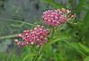 Swamp milkweed (<I>Asclepias incarnata</I>) Maydale Conservation Park, Silver Spring, MD