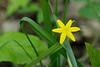 Yellow stargrass (<I>Hypoxis hirsuta</I>) Catoctin Mountain Nat'l Park, Frederick County, MD