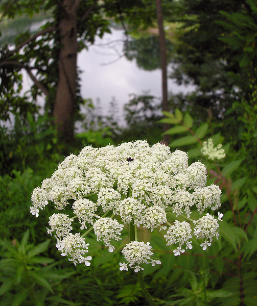 Queen Anne's Lace (<I>Daucus carota </I>) by Little Seneca Lake Black Hill Regional Park, Boyds, MD
