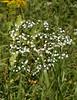 Flowering spurge (<i>Euphorbia corollata</i>) in meadow Little Bennett Regional Park, Clarksburg, MD