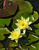 "Tropical water lilies <span class=""nonNative"">[Non-native, garden planting]</span> Brookside Gardens, Wheaton, MD"