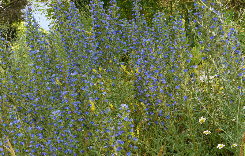 """Viper's bugloss <span class=""""nonNative"""">[non-native]</span> &amp; other wildflowers by Old Valley Pike Near Woodstock, VA"""