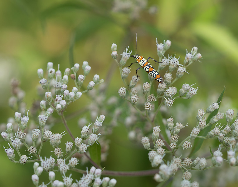 Ailanthus webworm moth on late-flowering boneset (<i>Eupatorium serotinum</i>) McKee-Beshers Wildlife Mgt Area, Poolesville, MD