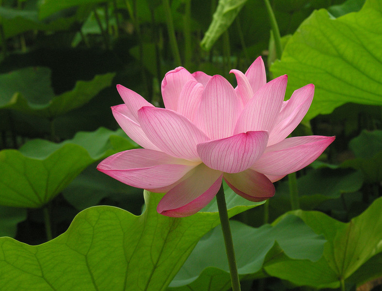 "Lotus blossom (<i>Nelumbo nucifera</i>) <span class=""nonNative"">[non-native, garden planting]</span> Kenilworth Aquatic Gardens, Washington, DC"
