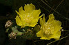 Prickly pear cactus in flower (<I>Opuntia humifusa</I>) along roadside Strasburg, VA