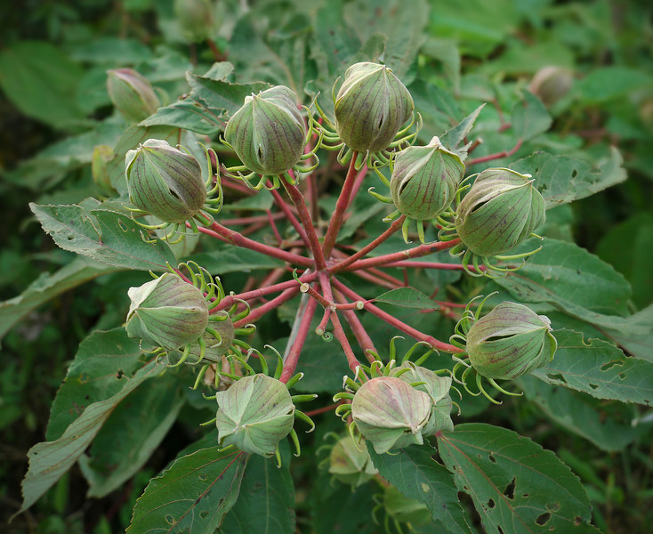 Whorl of crimsoneyed rosemallow buds (<I>Hibiscus moscheutos</I>) at Hughes Hollow McKee-Beshers Wildlife Mgt Area, Poolesville, MD