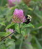 "Bumble bee (<i>Bombus</i> sp.) on red clover <span class=""nonNative"">[non-native]</span> Catoctin Mountain Nat'l Park, Frederick County, MD"