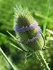 "Fuller's teasel (<i>Dipsacus fullonum</i>) spiral-flowering <span class=""nonNative"">[non-native]</span> McKee-Beshers Wildlife Mgt Area, Poolesville, MD"