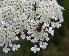 "Wasp & hoverfly (bee mimic) on Queen Anne's lace (<i>Daucus carota</i>) <span class=""nonNative"">[non-native]</span> Black Hill Regional Park, Boyds, MD"