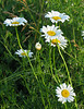 "Oxeye daisies (<i>Leucanthemum vulgare</i>) <span class=""nonNative"">[non-native]</span> Blue Mash Trail near Olney, MD"