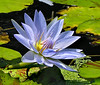 "Tropical water lily <span class=""nonNative"">[Non-native, garden planting]</SPAN> Brookside Gardens, Wheaton, MD"