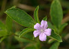 Carolina wild petunia, <i>aka</i> Hairy ruellia (<i>Ruellia caroliniensis</i>) Hampton National Historic Site, Baltimore County, MD