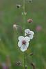 "Moth mullein (<I>Verbascum blattaria</I>) in wildflower meadow <span class=""nonNative"" >[Non-native invasive]</span> Catoctin Mountain Nat'l Park, Frederick County, MD"
