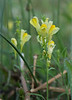 "Butter-and-eggs (<i>Linaria vulgaris</i>) <span class=""nonNative"">[non-native]</span> Near Catoctin Mountain Nat'l Park, Frederick County, MD"